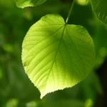Ein hellgrünes Laubblatt in Nahaufnahme