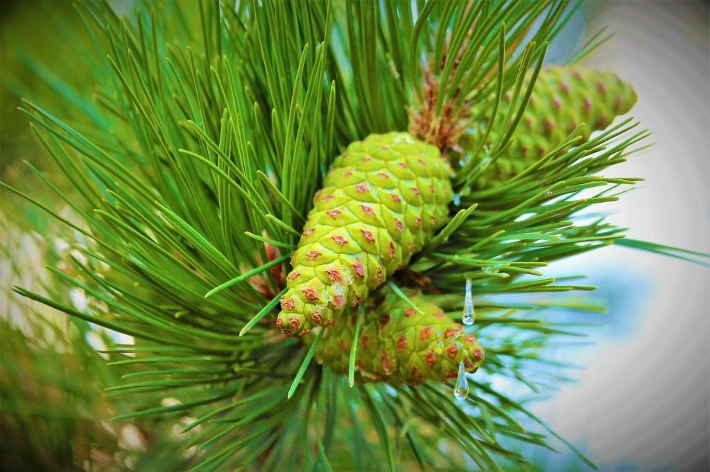Hellgrüne Pinienzapfen Nahaufnahme mit den Nadeln.