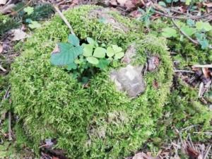 Aus einem moosüberwachsenen Baumstamm wächst Waldklee und ein neuer Baum.