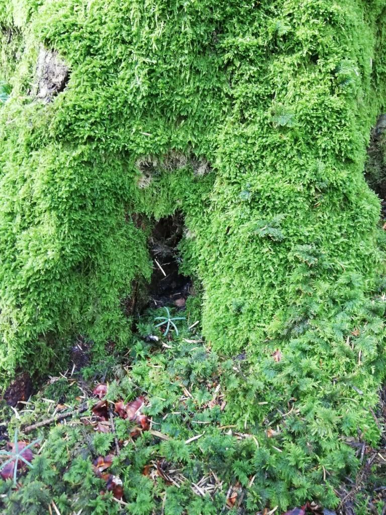 ein moosbedeckter Baumstamm. Nur der untere Teil des Baumstamms ist im Bild.
