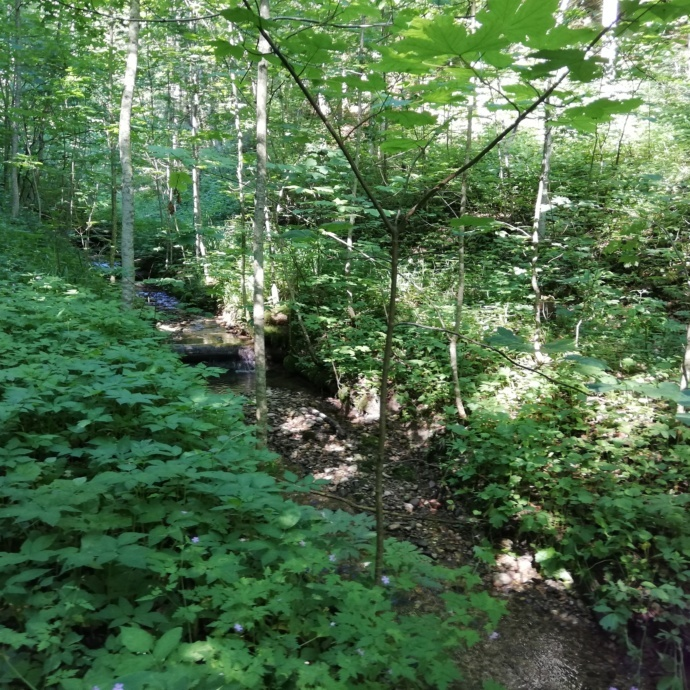 Mitten im Wald, junge Bäume, ein Weg geht hindurch.