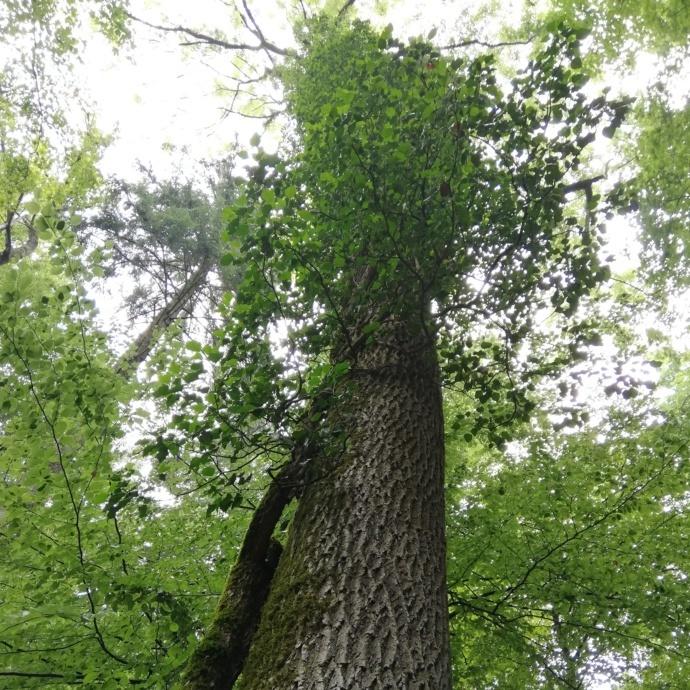 Ein Baumstamm, der oben umwachsen ist von Efeu. Blick in die Baumkrone und in den Himmel