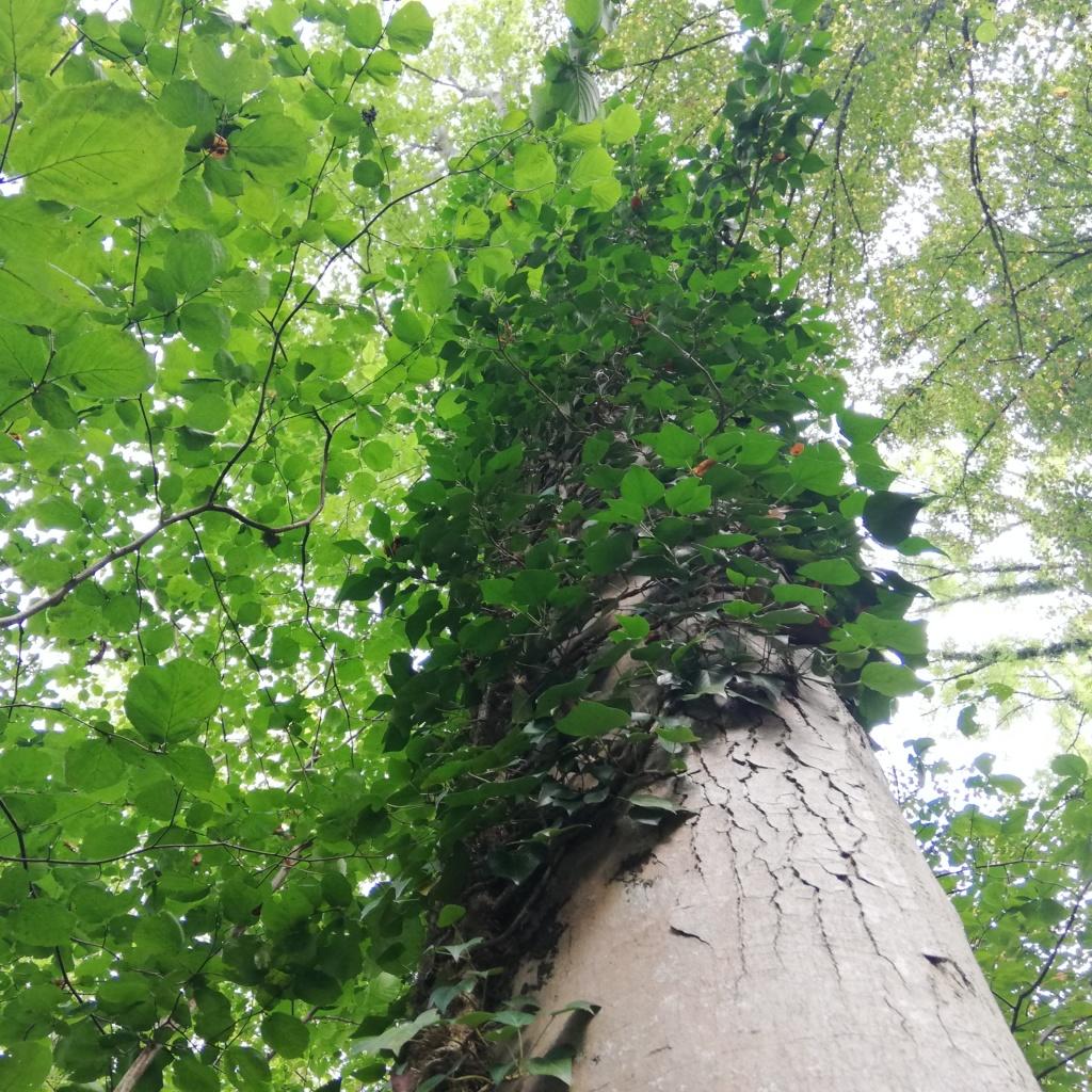 Ein Baumstamm voller Efeuranken, Blick in die Krone.